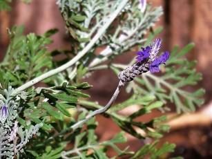 Lavandula pubescens IMG_8531 (2)