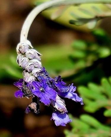 Lavandula pubescens IMG_8533-001 (3)
