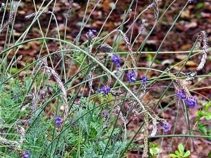 Lavandula pubescens IMG_8943 (3)