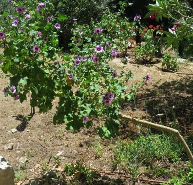 Lavatera arborea IMG_6867 (2)