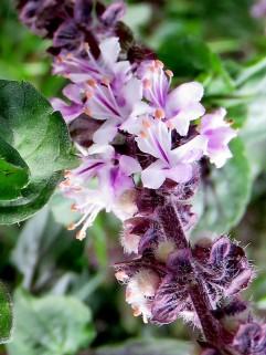 Ocimum basilicum IMG_0605-004 (2)