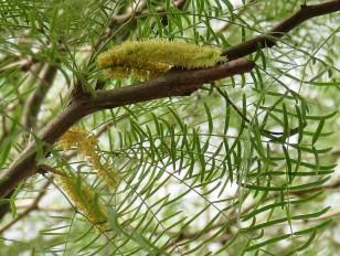 Prosopis chilensis IMG_2925-001 (2)