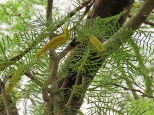 Prosopis chilensis IMG_2926 (2)
