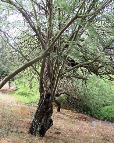 Prosopis chilensis IMG_2927 (2)
