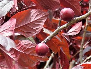 Prunus cerasifera IMG_2012-004 (2)