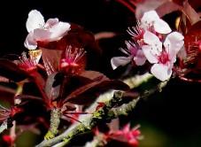 Prunus cerasifera IMG_2674-002 (2)