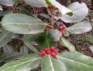 _Rhamnus alaternus Krushina IMG_2484 (2)