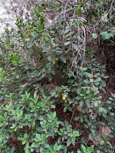 _Rhamnus alaternus Krushina IMG_2485 (2)