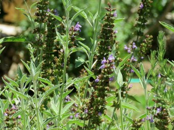 Salvia officinalis_IMG_6842