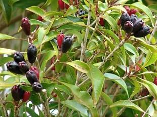 Syzygium aromaticum_IMG_5550