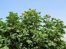 Tithonia diversifolia IMG_2809
