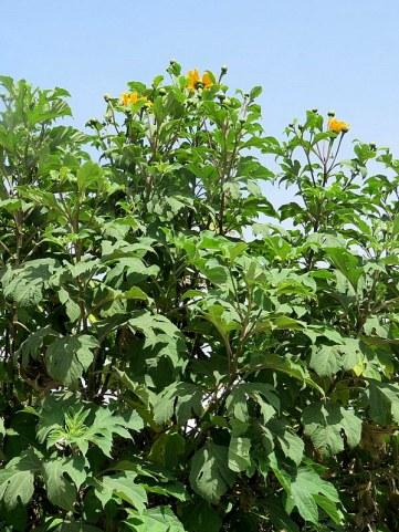 Tithonia diversifolia IMG_2810