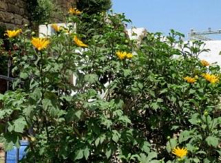 Tithonia diversifolia IMG_2811