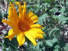 Tithonia diversifolia IMG_2816