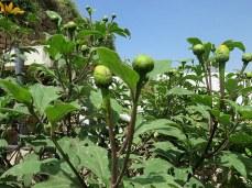 Tithonia diversifolia IMG_2817