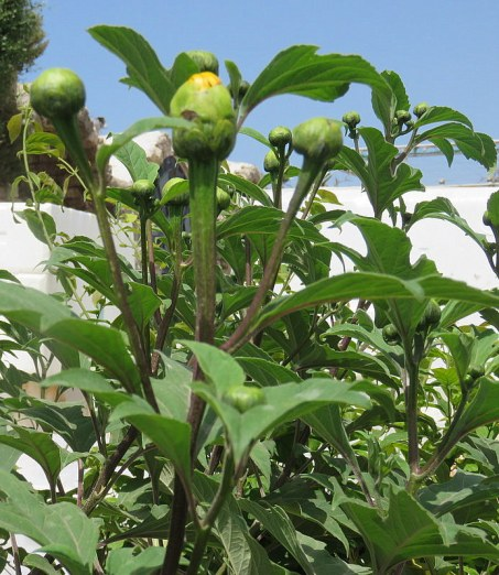 Tithonia diversifolia IMG_2818