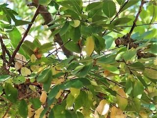Ulmus parvifolia IMG_5336 (3)