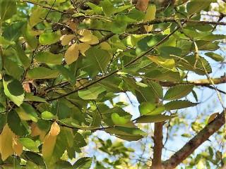 Ulmus parvifolia IMG_5337 (3)