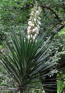Yucca aloifolia IMG_2953 (2)