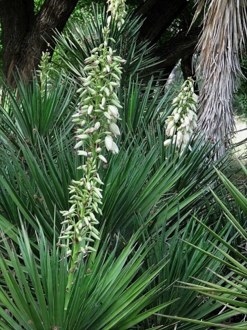 Yucca aloifolia IMG_2954 (2)
