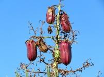 _Yucca aloifolia IMG_4124-001 (2)