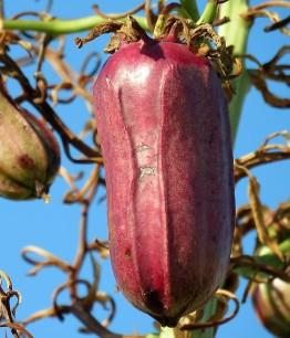 _Yucca aloifolia IMG_4128-001 (2)