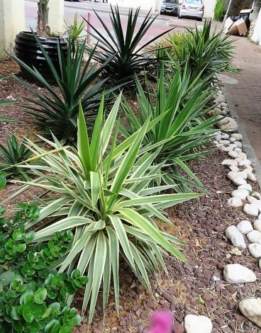 _Yucca flaccida IMG_1975-001 (2)