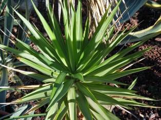 _Yucca flaccida IMG_4121 (2)