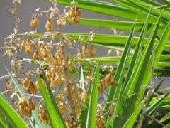 _Yucca gigantea IMG_9252
