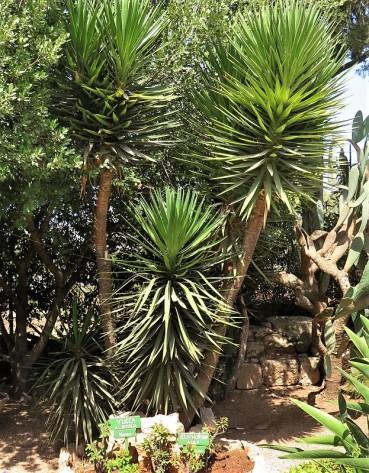 _Yucca treculeana IMG_1064 (2)