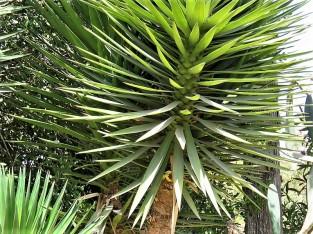 _Yucca treculeana IMG_1065 (2)
