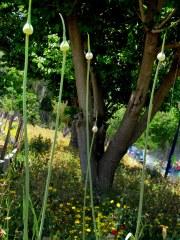 Allium porrum IMG_1349