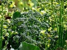 Brassica oleracea IMG_2460-001