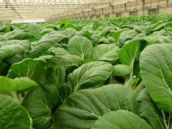 Brassica rapa var. chinensis_IMG_7716-001