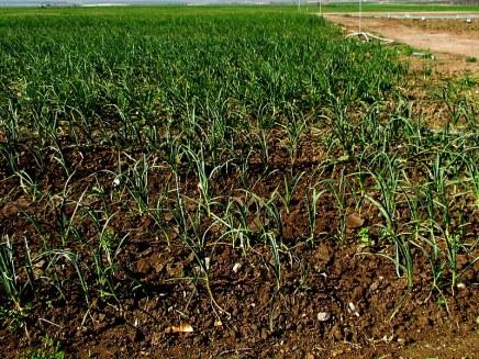 Chesnok_Allium sativum_IMG_0100-001