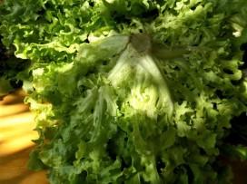 Эндивий (салатный цикорий)