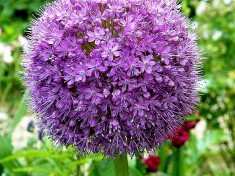 Luk_Allium_Monet_sad_P6141567_a