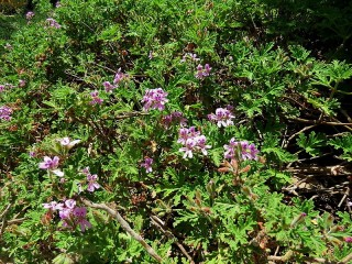 Pelargoniumgraveolens IMG_2771