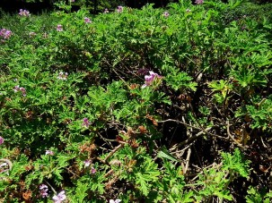 Pelargoniumgraveolens IMG_2772