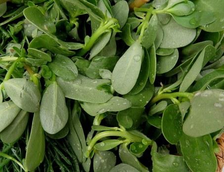 Portulaca oleracea IMG_2678-001