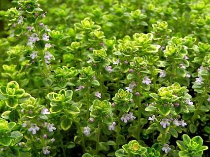 Thymus citriodorus Aureus_Spezii_P3308878 (2)