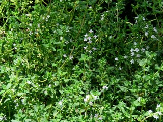 Thymus vulgaris IMG_2689