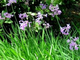 Tulbaghia violacea IMG_2736