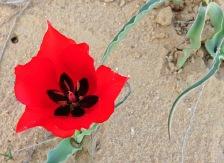 Tulipa systola IMG_9736-001