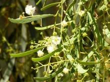 Acacia salicina_DSCN1977-001