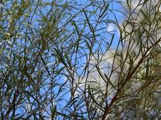Eucalyptus spathulata_DSCN1966 (2)
