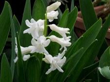 Giazint_Hyacinthus IMG_9042-001