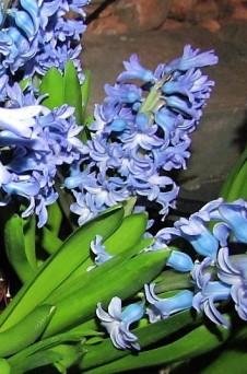 Giazint_Hyacinthus IMG_9654 (3)