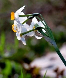 Narcissus tazetta IMG_0960-002