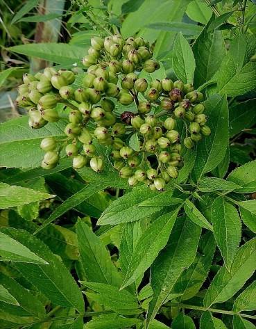 Buzina_Sambucus canadensis DSCN4175-002 (2)
